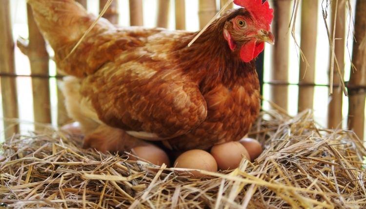 Backyard Chickens & Basket